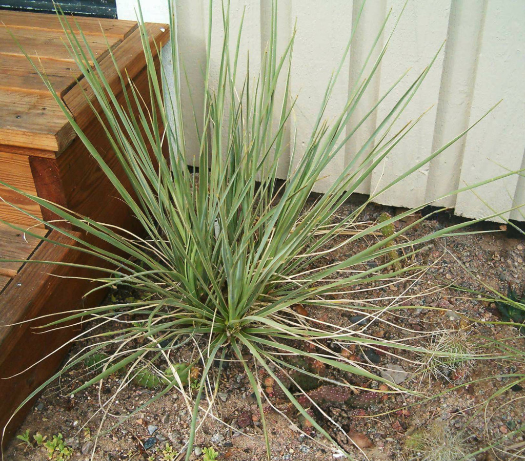 Yucca glauca 570.1.1