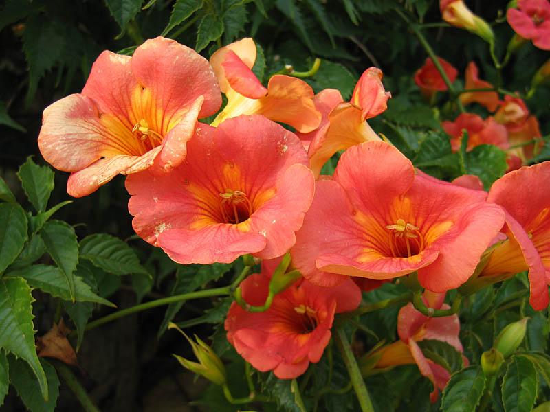 Campsis grandiflora 870