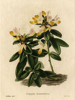 Polygala chamaebuxus (teckn.) 870