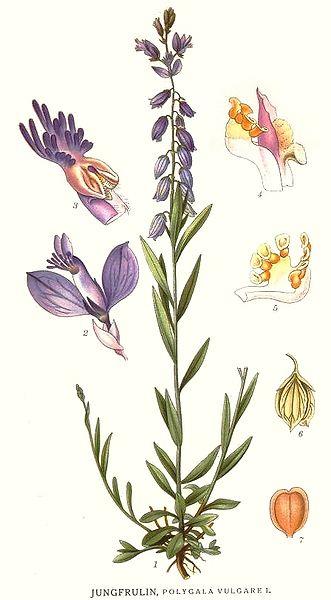 Polygala vulgaris (teckn.) 870