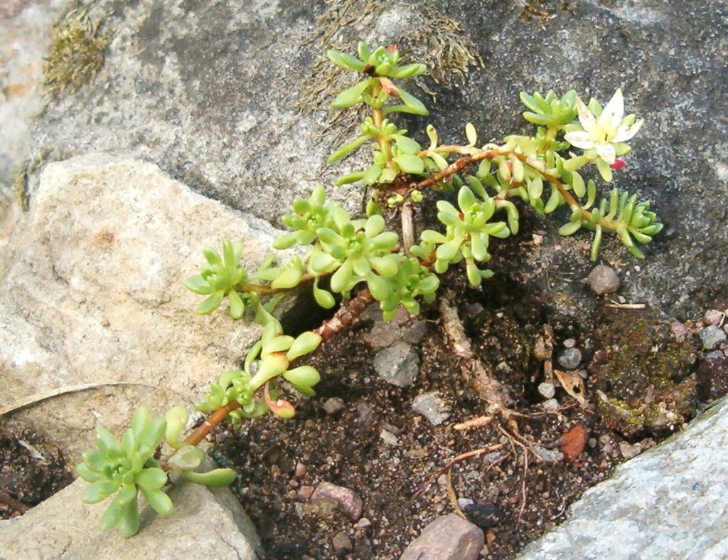 Rhodiola saxifragoides 570.1