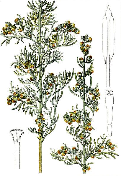 Artemisia maritima (teckn.) 870