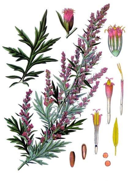 Artemisia vulgaris (teckn.) 870