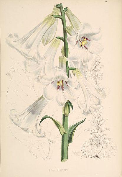 Cardiocrinum giganteum 870 (fr. Wikipedia)