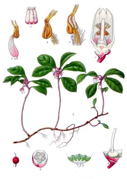 Gaultheria procumbens (teckn.) 870