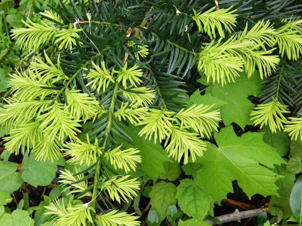 Metasequoia glyptostroboides 870