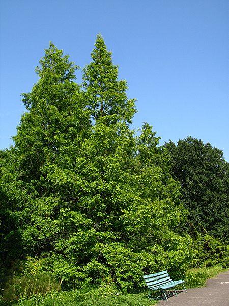 Metasequoia glyptostroboides 870 m.l. (Crusier)