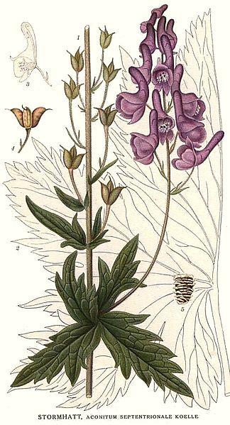 Aconitum lycoctonum (A. septentrionale) (teckn.) 870