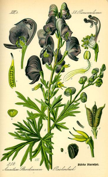 Aconitum napellus (teckn.) 870