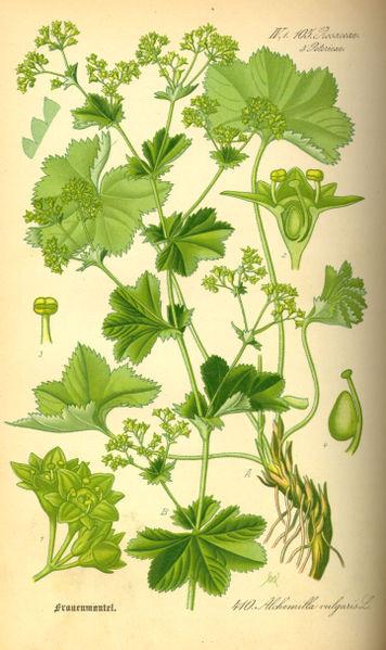 Alchemilla vulgaris (teckn.) 870