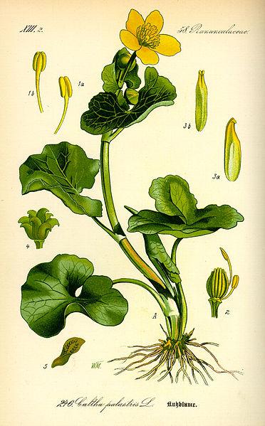 Caltha palustris (teckn.) 870