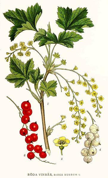 Ribes rubrum (teckn.) 870