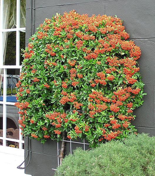 Pyracantha sp. 870