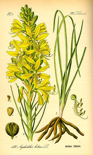 Asphodeline lutea (teckn.) 870
