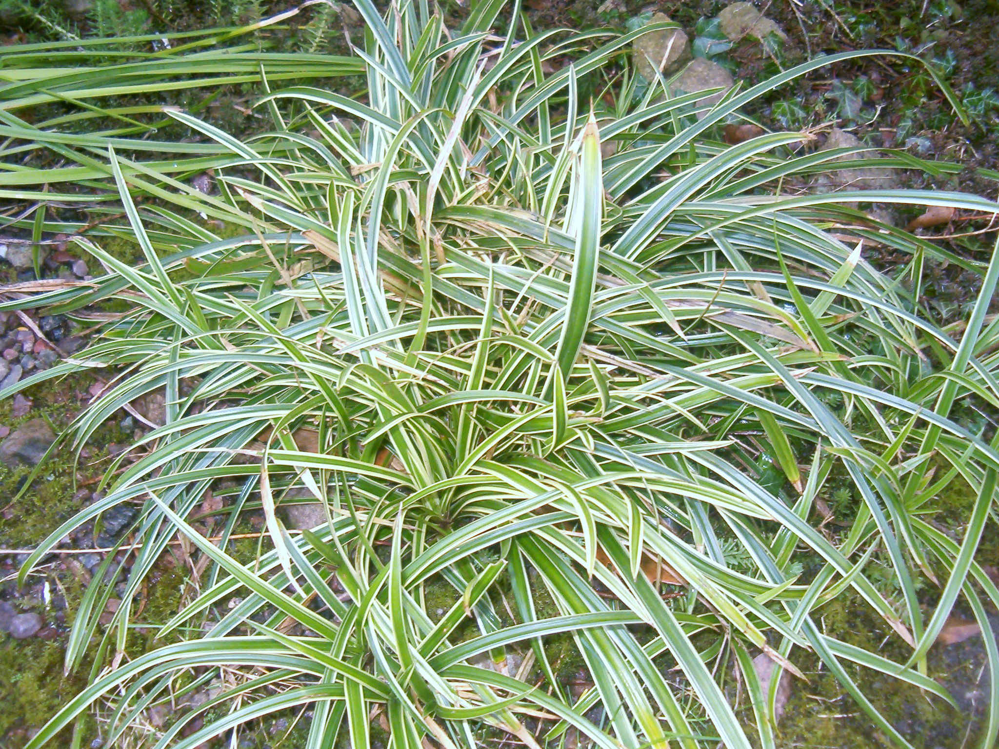 Carex morrowii `Ice Dance´ 570.1