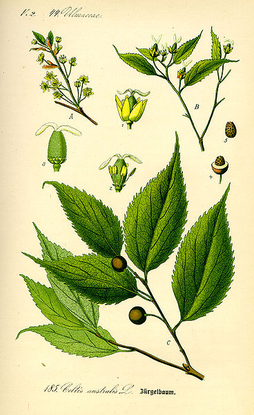 Celtis australis (teckn.) 870