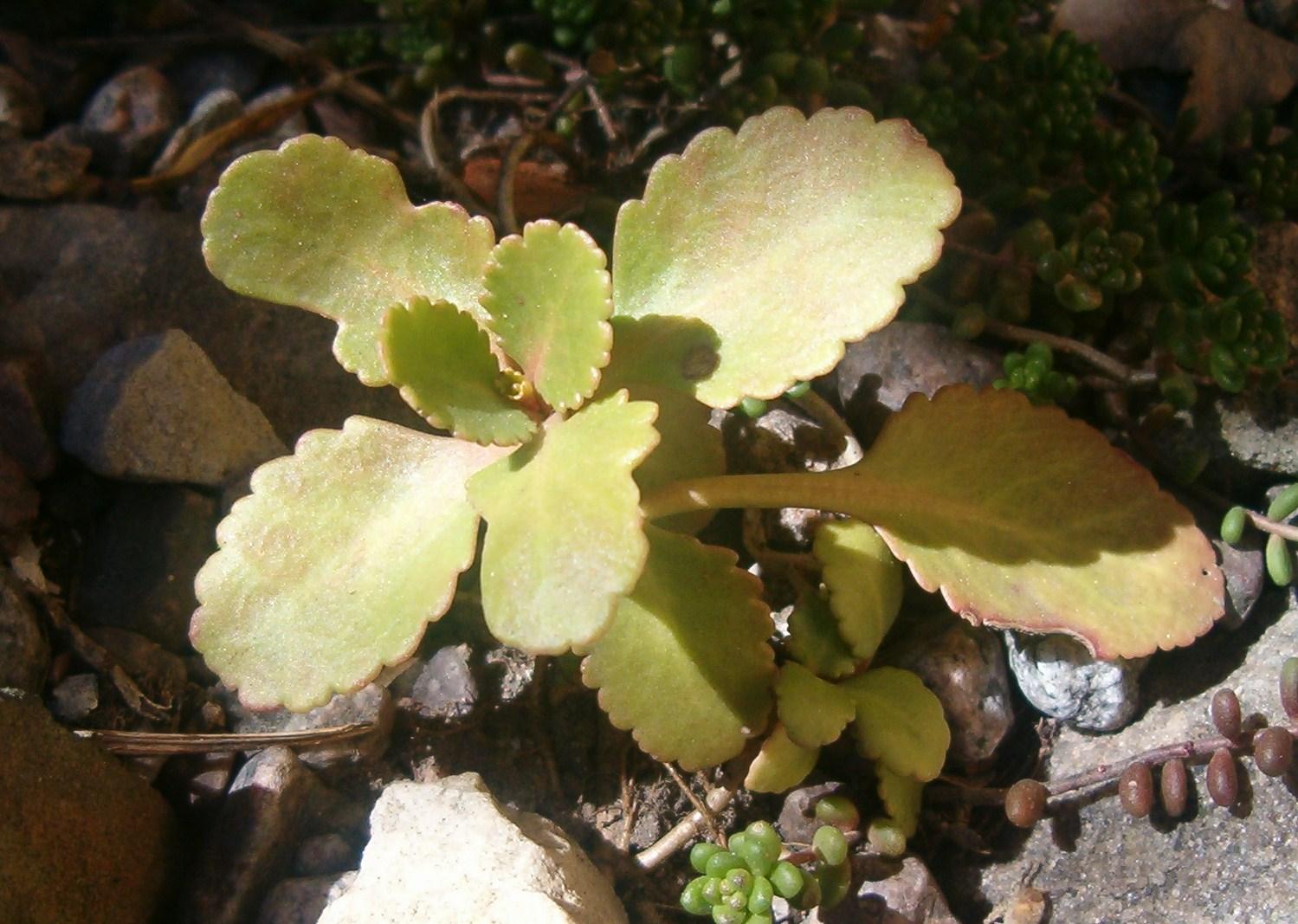Chiastophyllum oppositifolium  570.1