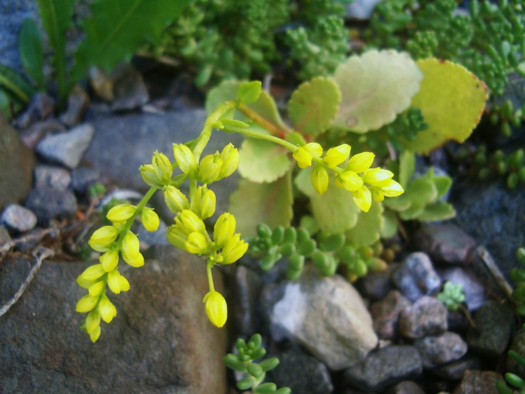 Chiastophyllum oppositifolium 570.2