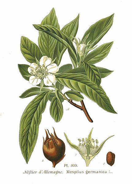 Mespilus germanica 870