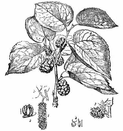 Morus nigra 870