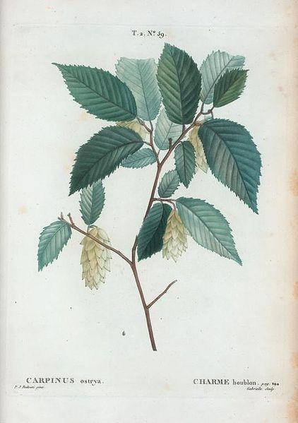 Ostrya carpinifolia 870