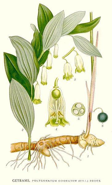 Polygonatum odoratum 870