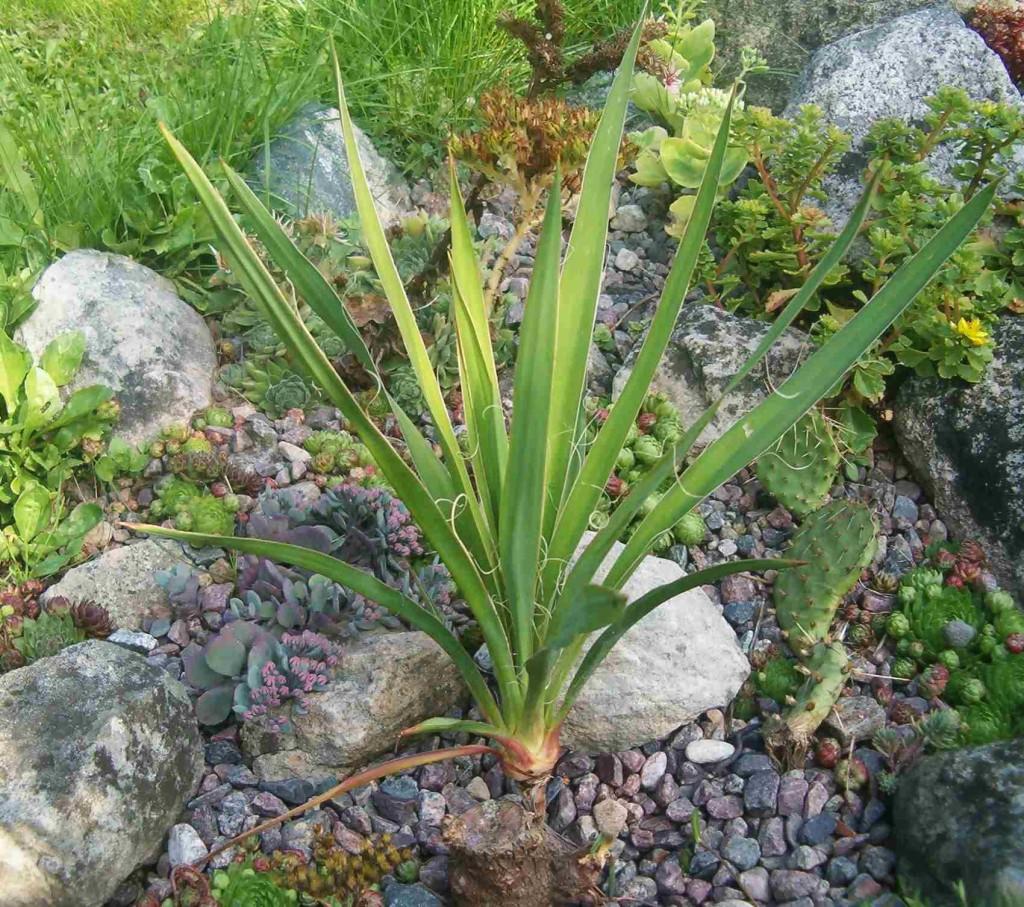 Yucca filamentosa ssp. filamentosa 570.1